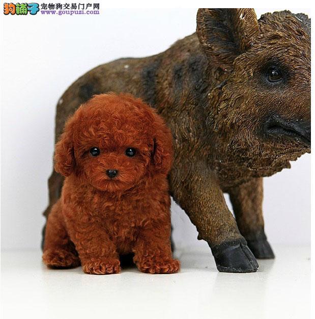 奈熊熊犬舍出售精品泰迪宝宝 质量三包 北京可送货上门