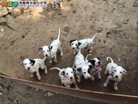 纯种斑点 北京最大的斑点养殖基地 欢迎您光临指导