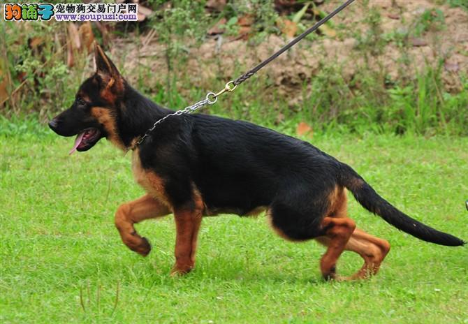德国牧羊犬养殖基地出售高品质德牧保纯保健康