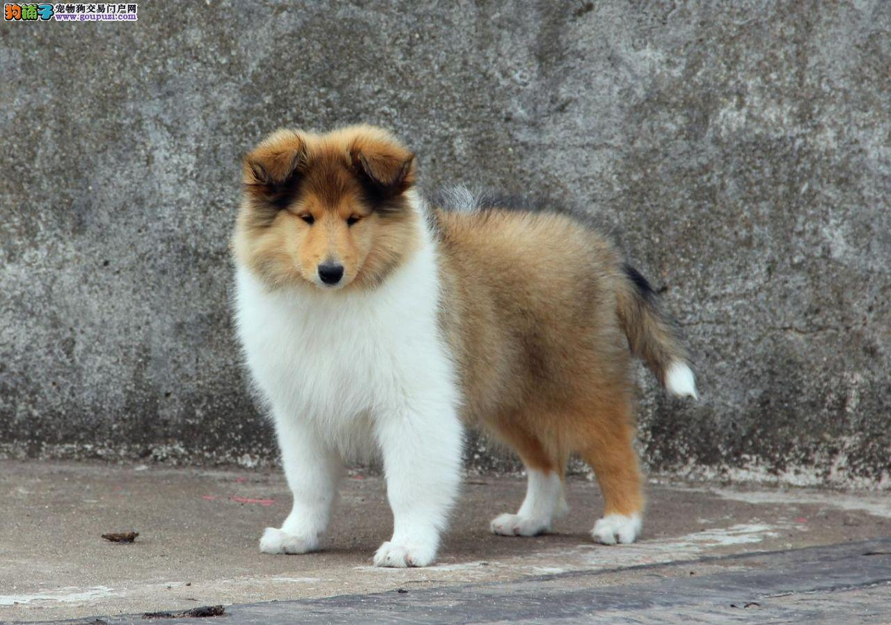 超级精品苏格兰牧羊犬、CKU认证保健康、提供养狗指导