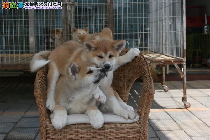 伊甸园犬业出售纯种秋田 保纯保健康 终身质保