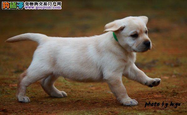 导盲犬拉布拉多出售中 保纯保健康 终身免费饲养指导