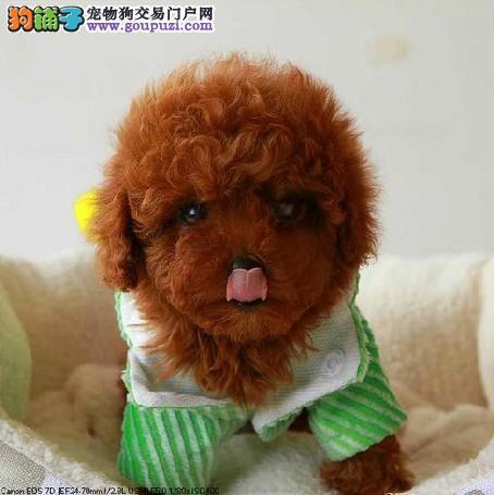 北京贵宾犬养殖基地 带证书出售精品贵宾 保纯保健康
