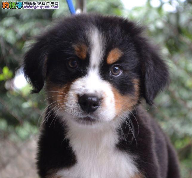 赛级品相伯恩山幼犬低价出售CKU认证绝对信誉保障