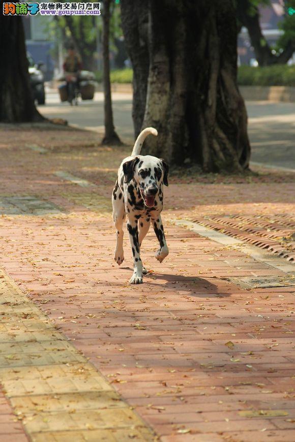 精品斑点犬 保纯保健康 疫苗和驱虫均已做完 可签协议