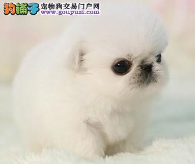 出售超可爱的京巴狗狗、纯种健康。