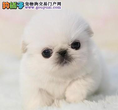 出售京巴犬 头版好 健康纯种 疫苗齐全