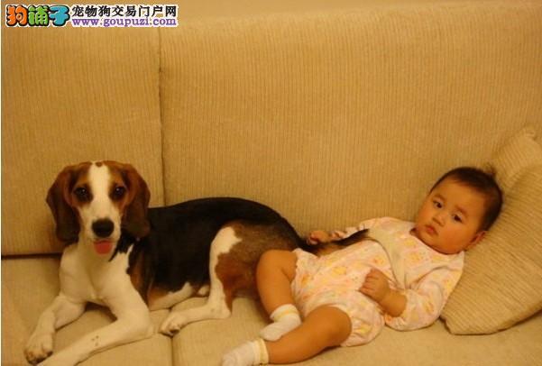 自家繁殖的纯种比格犬找主人专业品质一流