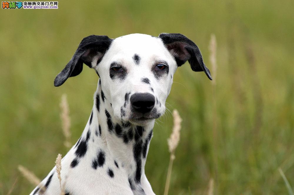 权威机构认证犬舍 专业培育斑点狗幼犬签订协议包细小犬瘟热