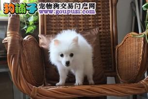 重庆哪里有纯种的银狐宝宝出售