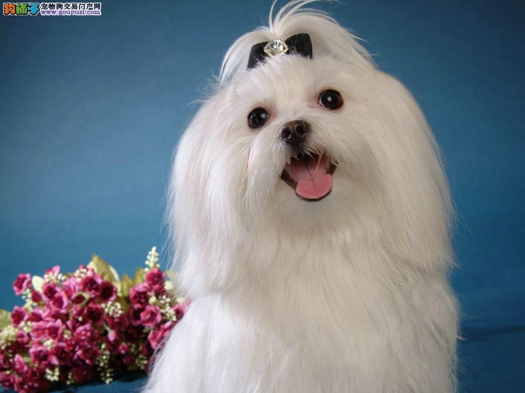 福州出售纯种的白色可爱马尔济斯幼犬