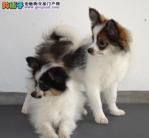 呼和浩特蝴蝶犬出售 哪里有卖蝴蝶犬 蝴蝶犬价格