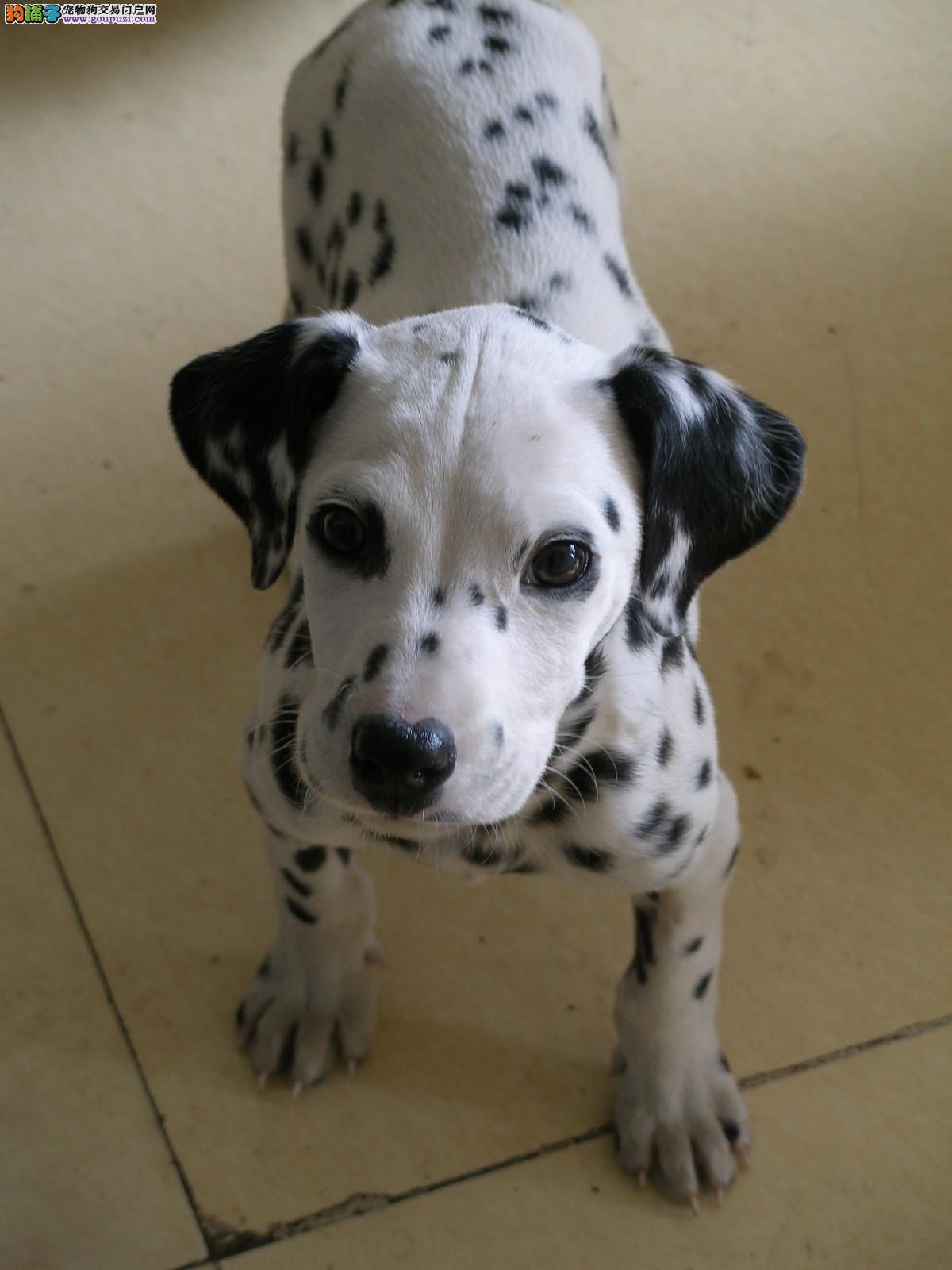 纯种犬繁殖基地售顶级大麦町幼犬 品相完美