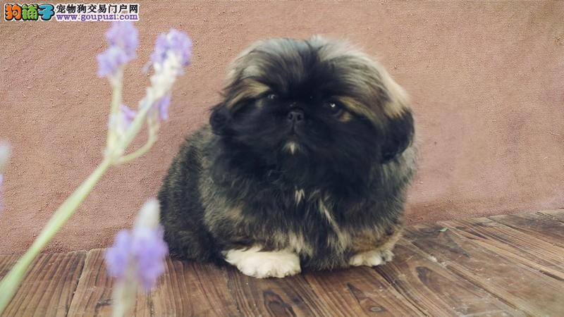 上海哪里卖袖珍幼犬 聪明可爱的漂亮袖珍宝宝 多只选