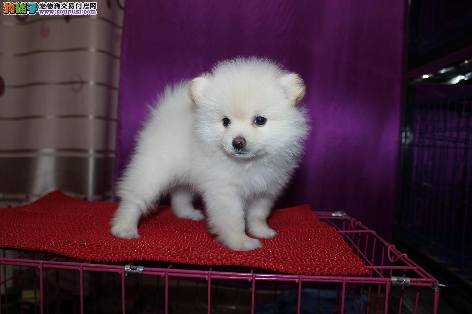 纯种银狐犬宝宝一夏日钜惠一买狗送用品哦