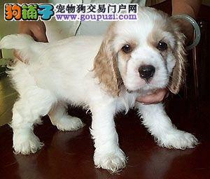 繁殖基地出售赛级品相可卡幼犬,保健康包纯种签质保