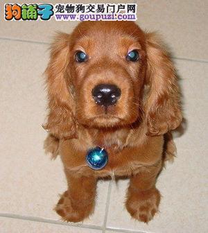 纯血统英系美系可卡幼犬低价出售品质保证办理证书芯片
