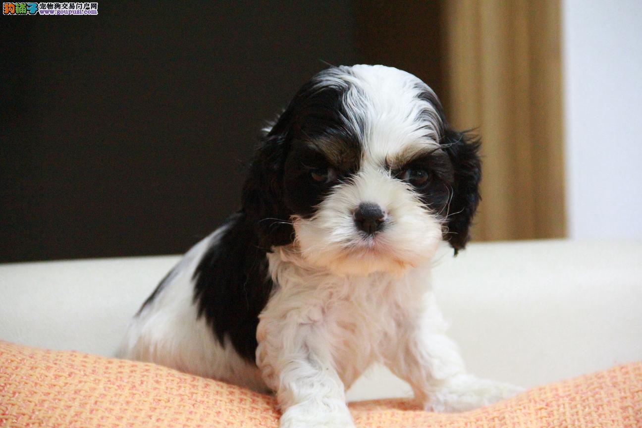 专业繁殖基地纯血统可卡幼犬出售中 免疫质保齐全
