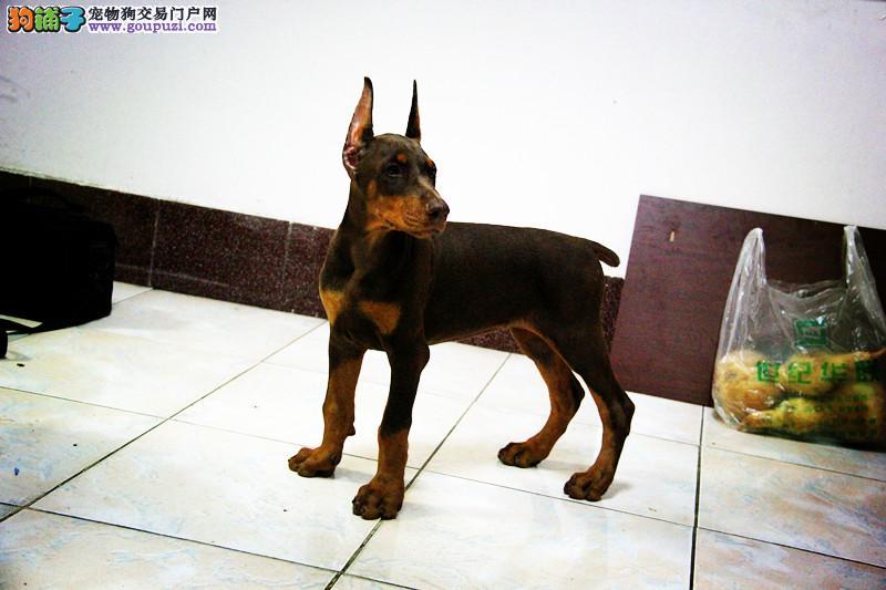 出售自家狗场繁殖血统纯正杜宾幼犬 保健康