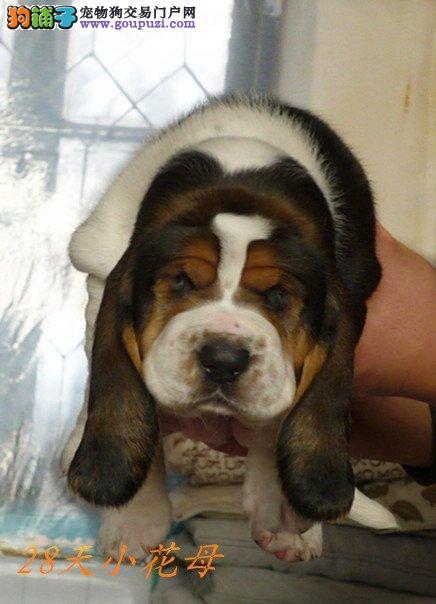 买纯种巴吉度幼犬 不同品相不同价位 包健康 签协议
