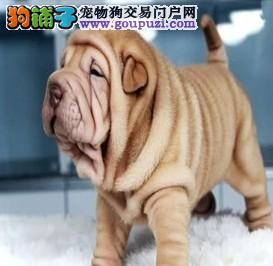 宠物基地出售沙皮幼犬 保证纯种健康