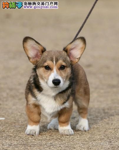 哪里出售纯种柯基犬 纯种柯基多少钱一只