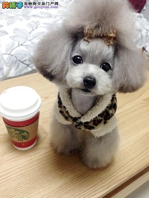 泰迪熊 纯种泰迪熊 泰迪茶杯泰迪熊犬