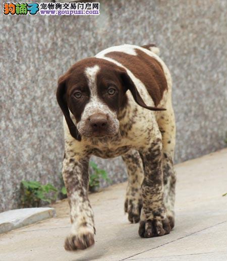 繁殖波音达猎犬德国短毛指示犬波音达猎犬图片 带证书