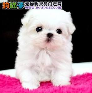 纯血统马尔济斯幼犬、假一赔十价位最低、购犬可签协议