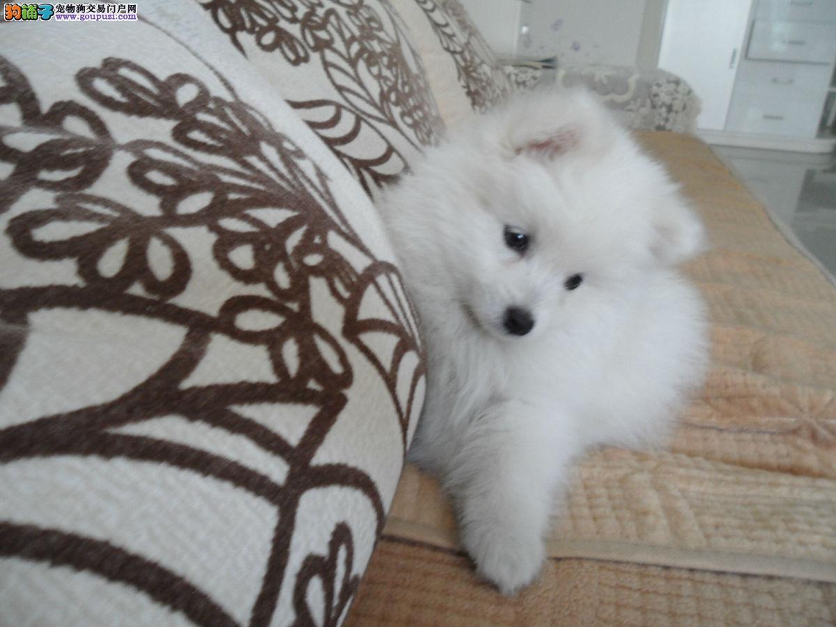 纯种银狐幼犬、2-3个月健康质保公母都有