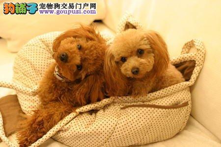 上海哪里出售纯种可卡幼犬 上海可卡多少钱一只