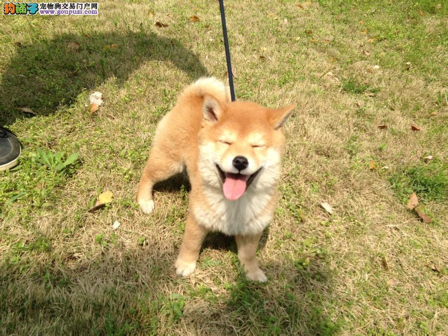 业繁殖日本柴犬 赛级日本柴犬 已做全疫苗公母均有