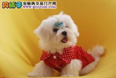 犬舍低价直销精品马尔济斯犬 保纯度 保健康 保品质