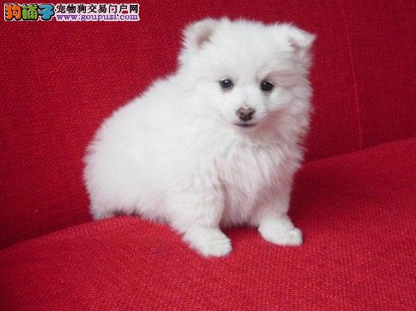 热卖纯种 高品质尖嘴、银狐 幼犬