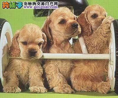 CKU认证犬舍 专业出售极品 可卡幼犬当日付款包邮