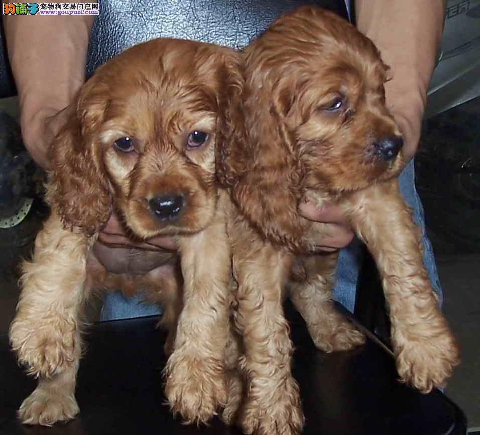 南京可卡犬出售 纯种健康的可卡犬哪里有卖的 多少钱
