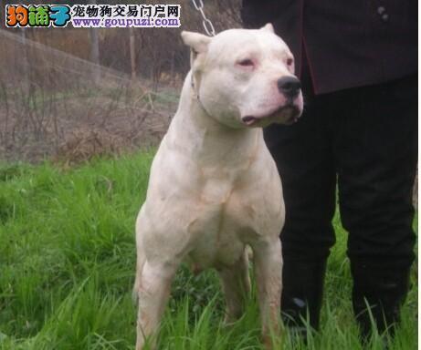 出售纯种健康的哈尔滨杜高犬幼犬支持全国空运发货