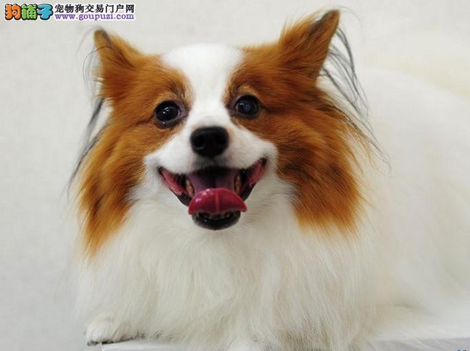 极品蝴蝶犬热销中、CKU认证犬舍、质保健康90天