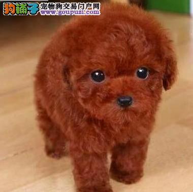 犬舍直销纯种泰迪熊幼犬,迷你体,玩具体,茶杯体