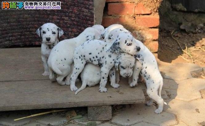 斑点犬 斑点犬舍 赛级斑点犬 疫苗证书齐全 售后签协议