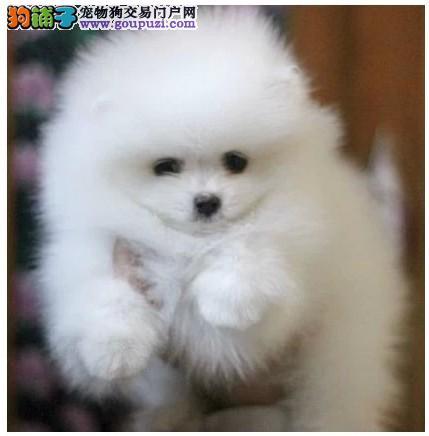 脉动犬业出售精品韩系小博美 登陆冠军 品质保证