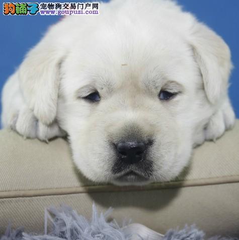 脉动犬业 出售精品导盲犬 大嘴颚 拉布拉多 直销