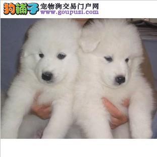 极品大白熊 忠心护主 买狗首选 上海脉动犬业直销