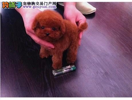 韩系小泰迪熊 包质量30天。大毛量 爆红 家庭繁殖