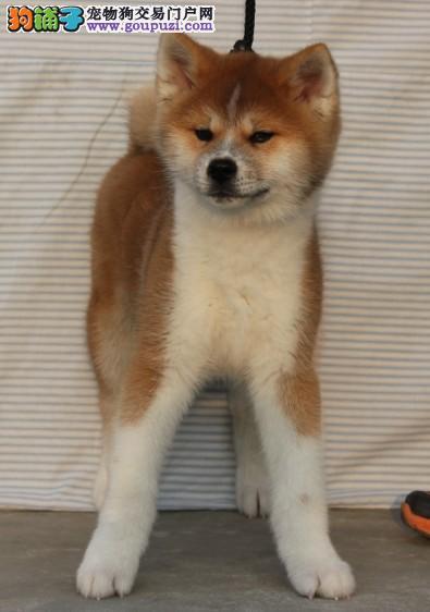 脉动犬业特价出售日系秋田犬 质量保证 每天10只挑选