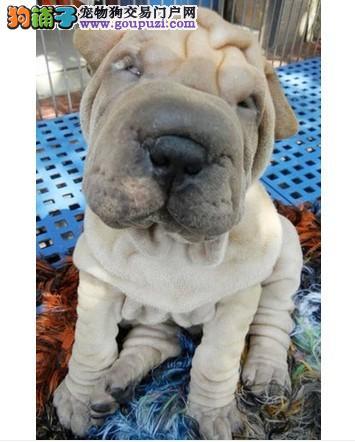 脉动犬业出售少数沙皮犬 质量保证 健康保证
