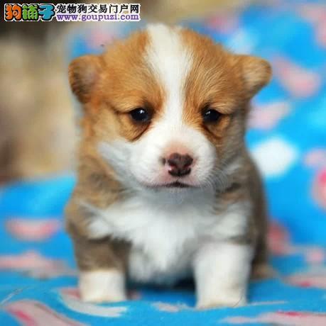 脉动犬业出售特价柯基犬 威尔士柯基犬 女王最爱