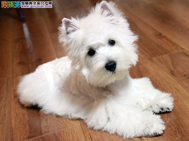 郑州CKU认证犬舍出售高品质西高地品质保障可全国送货