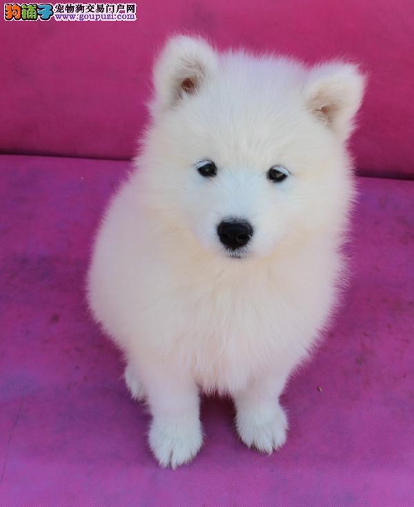 权威机构认证犬舍 专业培育银狐犬幼犬价格美丽非诚勿扰