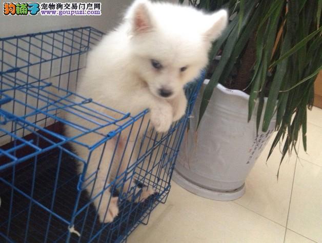 纯种的日本尖嘴犬(银狐犬)出售.可上门选购.包健康